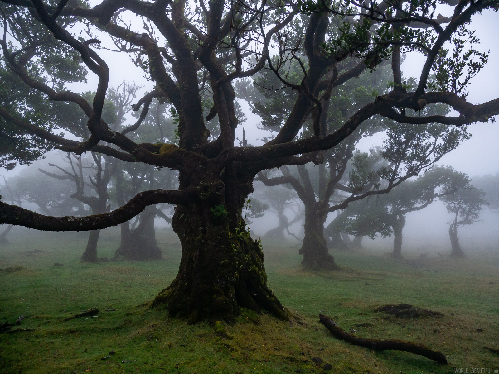 Foggy forest in Madeira