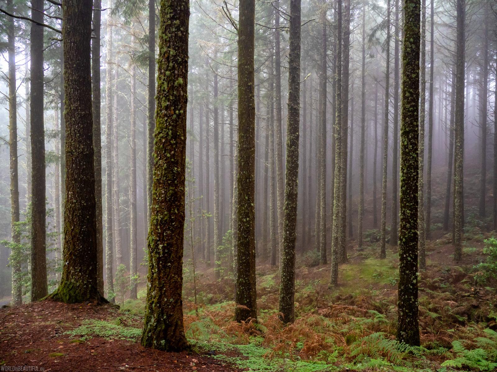Lasy na Maderze
