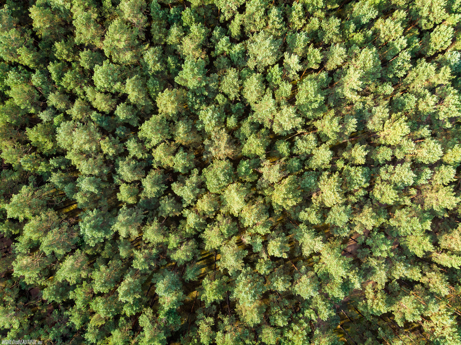 Pine forest - view from above