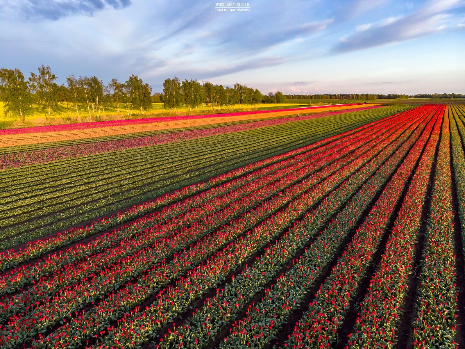 Tulipany na Żuławach