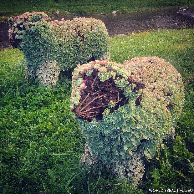 Owieczki w Szczawnicy