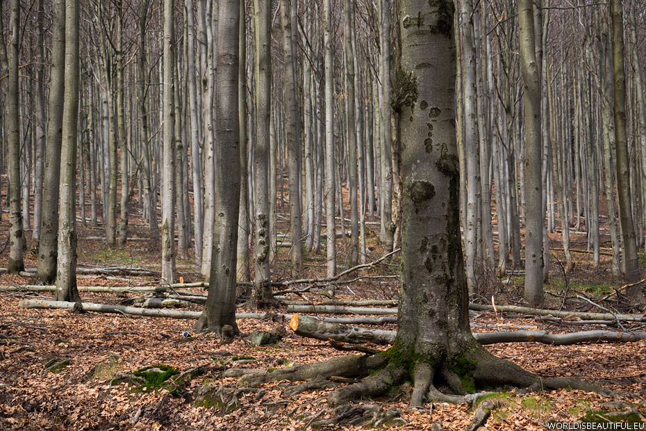 Bukowy las, super szlak
