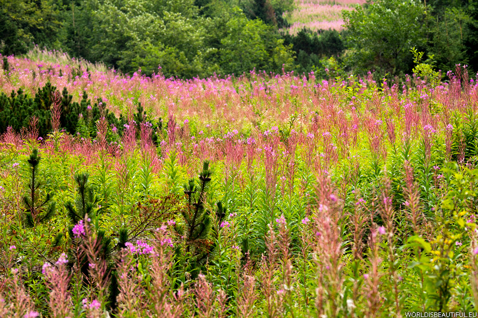 Rosebay willowherb (fireweed)