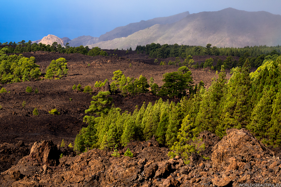 A pine forest, Canary Island pine
