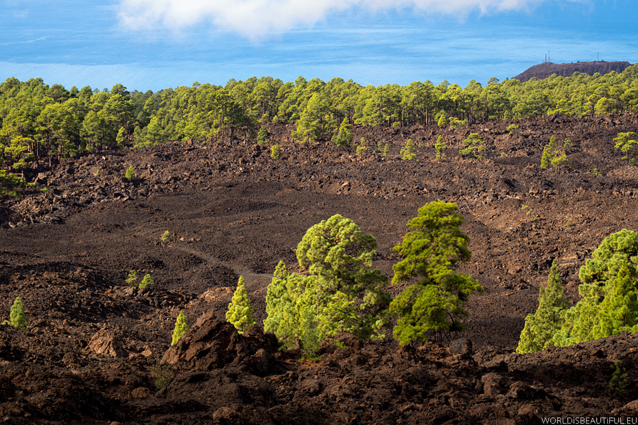 Trees growing on lava