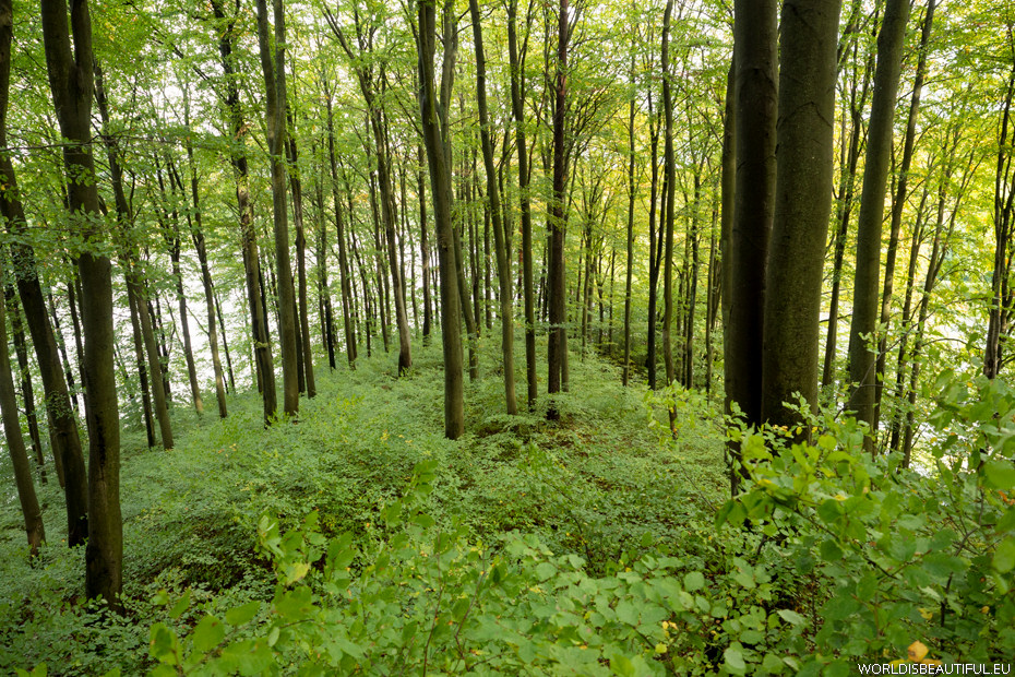 Beech forest on the peninsula