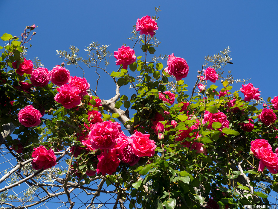 Climbing roses along the tourist trail