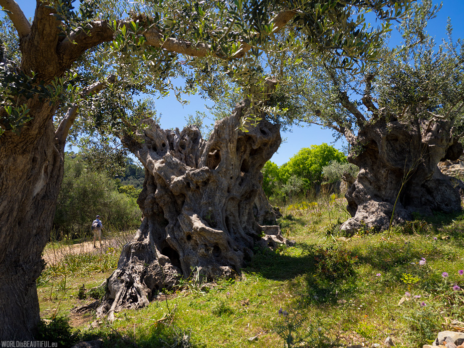 Old olive trees by the trail