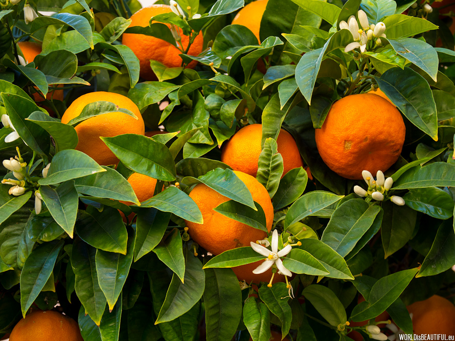 Oranges - flowers and fruits